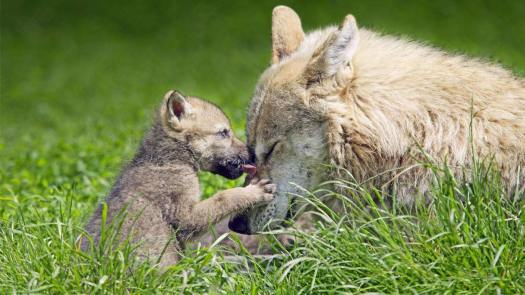 Mother Wolf & Pup